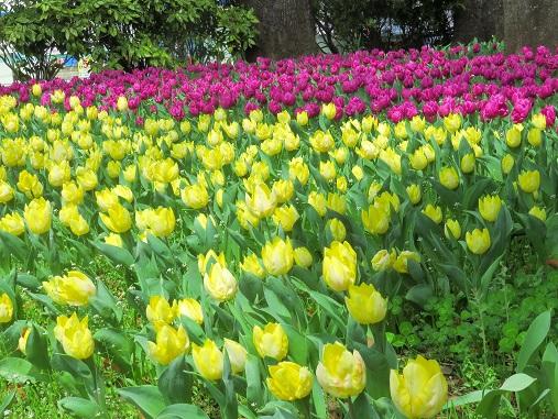 横浜に春の訪れを伝えるのが、チューリップ