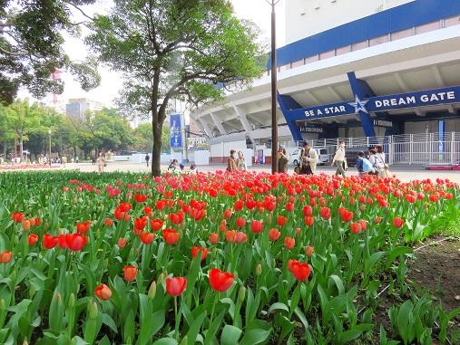 横浜スタジアムと横浜公園のチューリップ