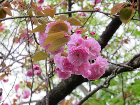 八重桜美しい