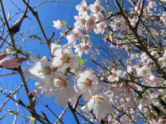 二ノ塔尾根の豆桜