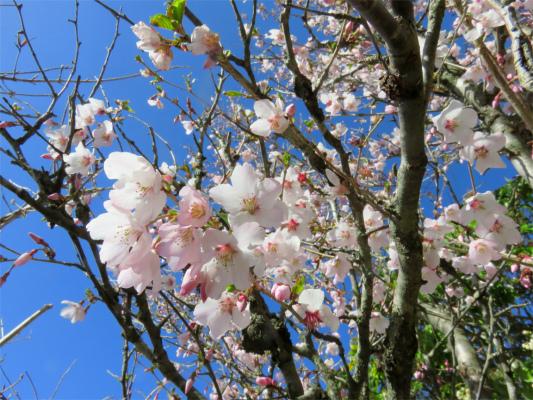 二ノ塔尾根の豆桜満開