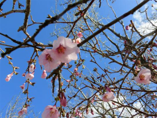 二ノ塔尾根桜