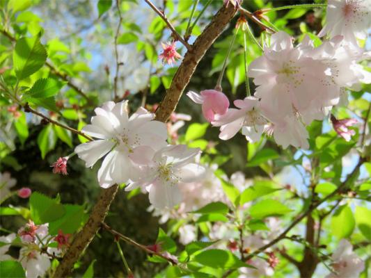 寄大橋寒桜
