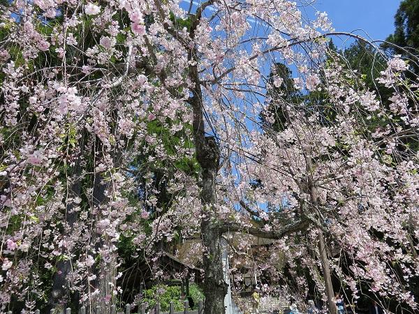 高野山壇上伽藍桜