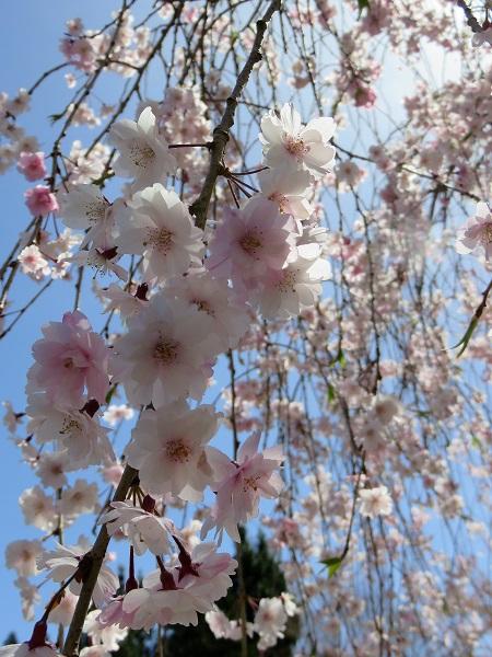 高野山桜の花