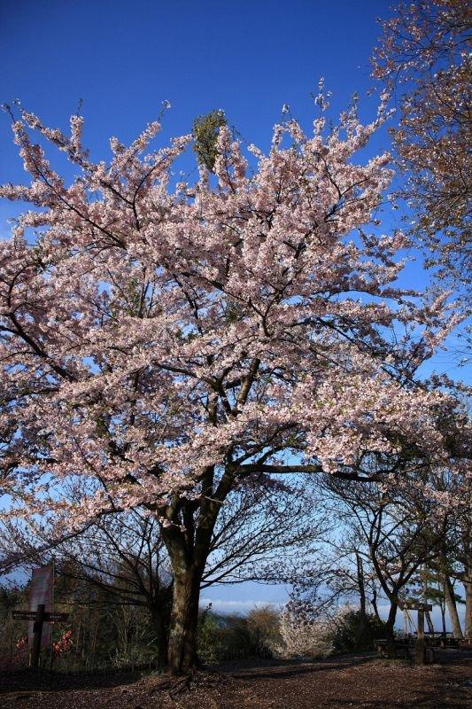 笹尾根の桜