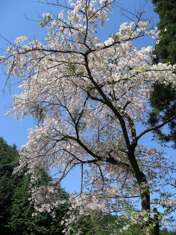 笹尾根縦走路桜