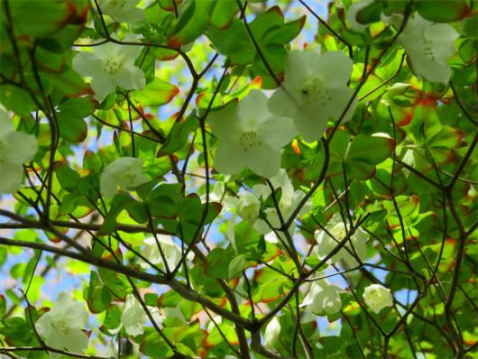 シロヤシオ花芽が多い