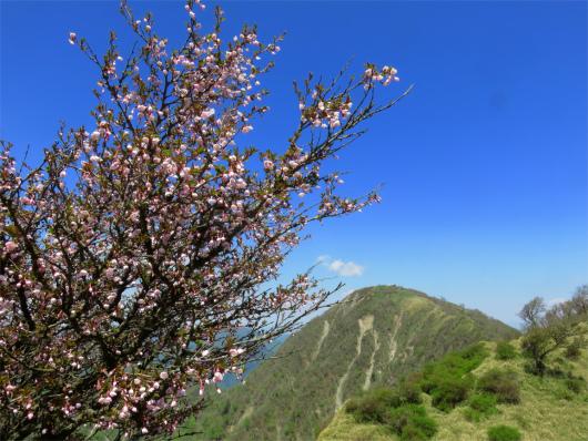 蛭ヶ岳とサクラ