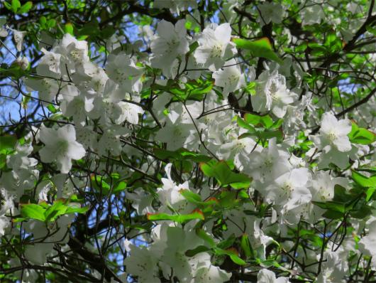 シロヤシオの木々