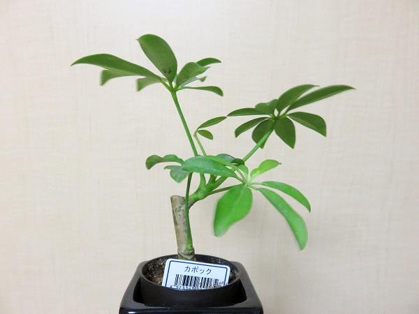 観葉植物(カポック)