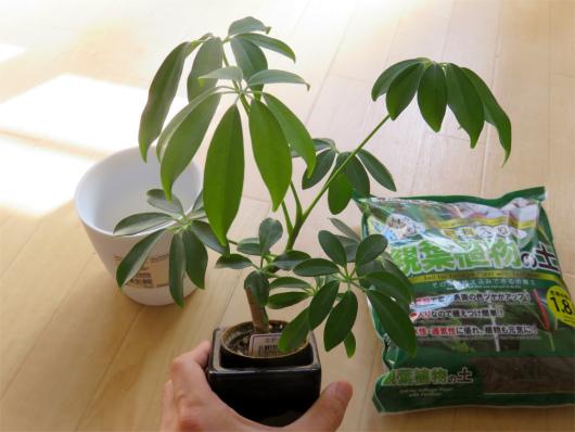 鉢替え前の観葉植物(カポック)