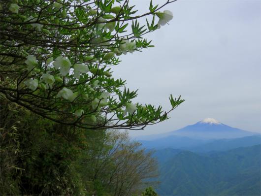 シロヤシオと富士山の夢のコラボ