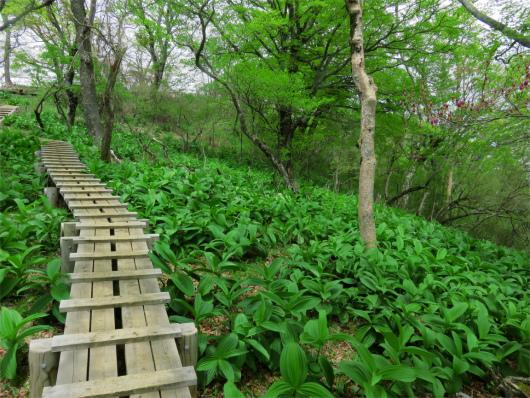 大室山直下の木道