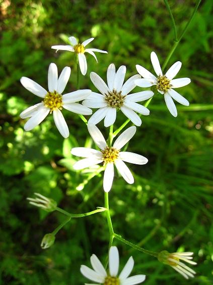 石割山登山道白い花