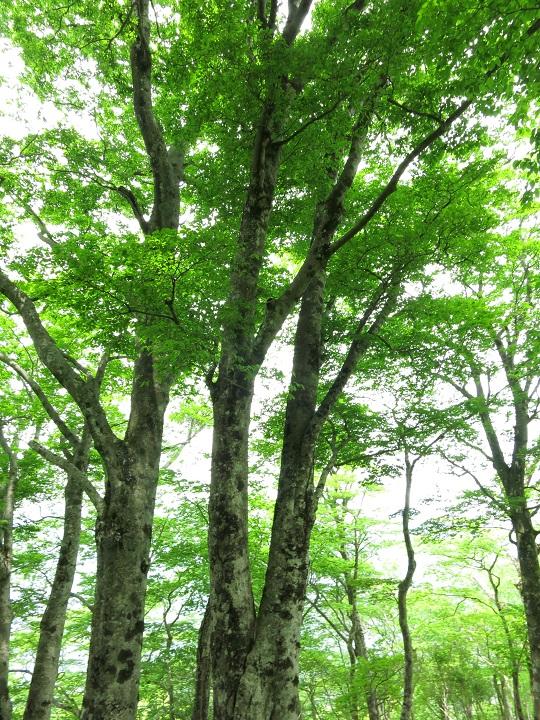 鍋割山北尾根のブナ林