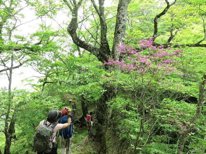 シロヤシオやミツバツツジのお花