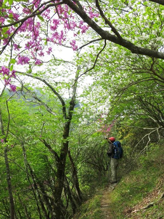 シロヤシオとミツバツツジのお花のトンネル