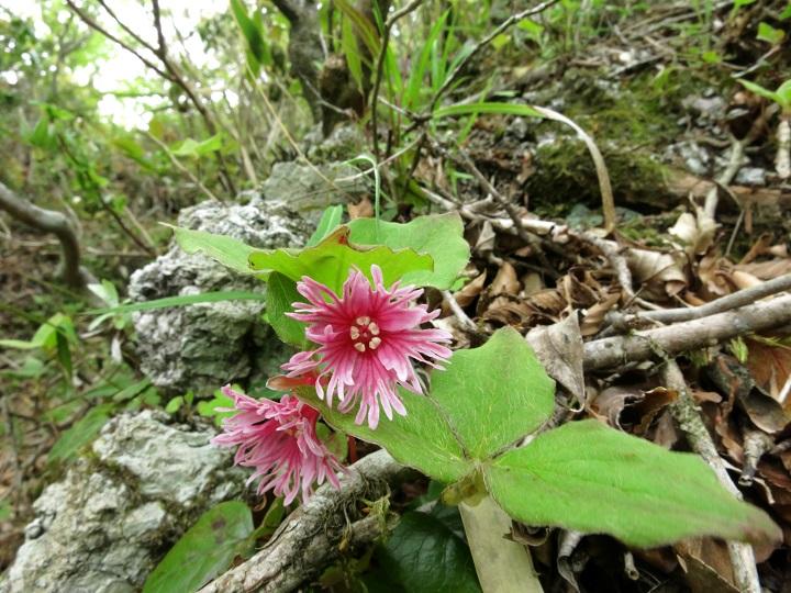 丹沢のイワカガミのお花