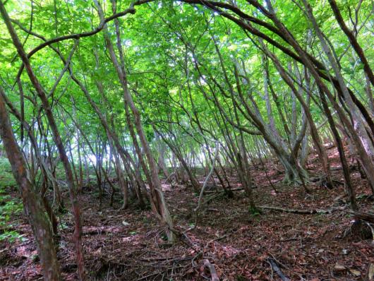 中倉山樹林帯