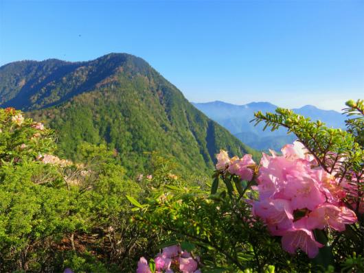 皇海山シャクナゲの花
