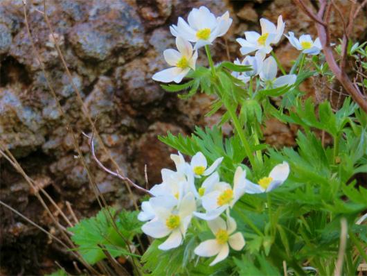 高山植物ハクサンイチゲ