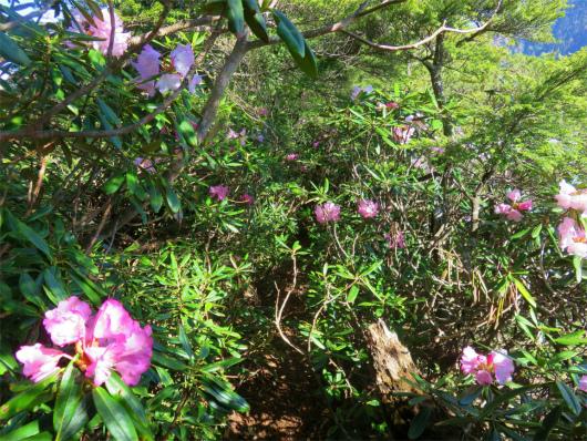 六林班峠への分岐シャクナゲの藪道