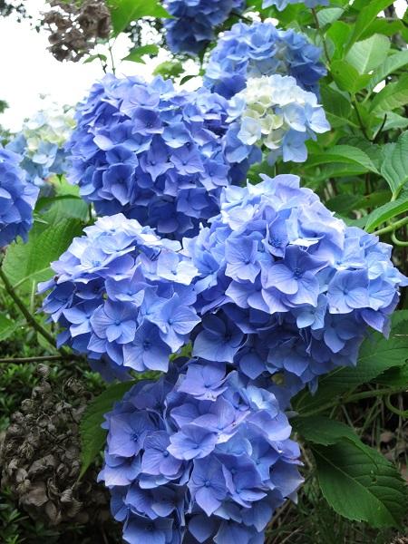 アジサイの紫色の花