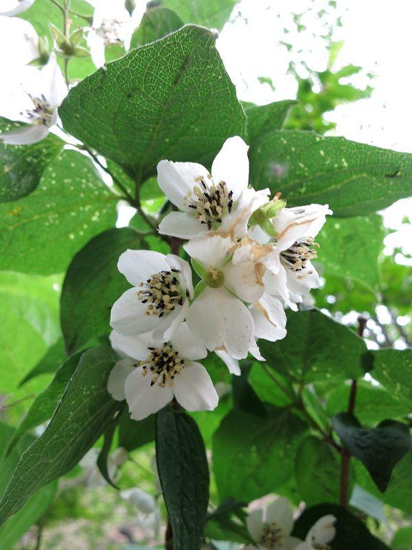 ドンドコ沢白いお花