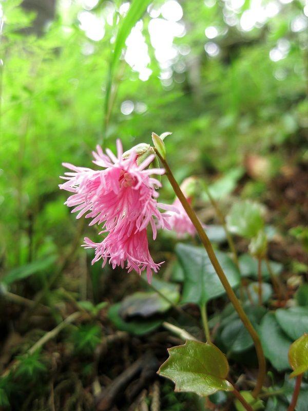 イワカガミ花