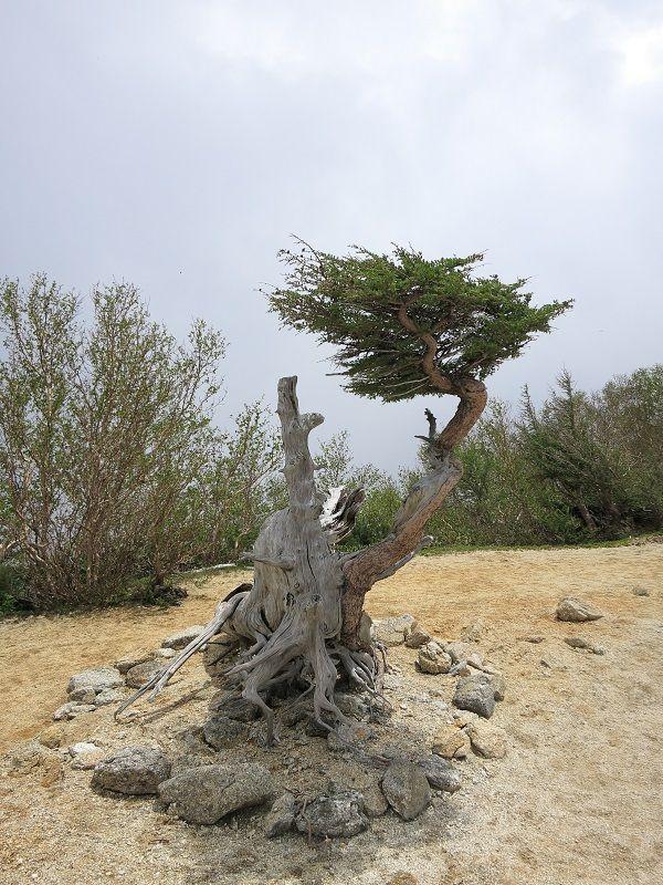 鳳凰三山のシンボルツリー