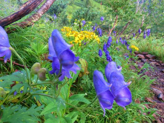 トリカブトのお花