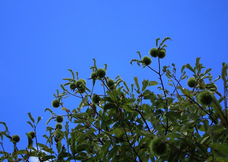 笹子雁ヶ腹摺山山頂のクリの木
