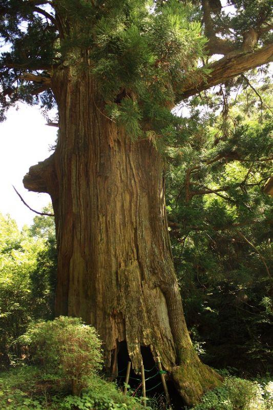 樹齢1000年越えの矢立の杉