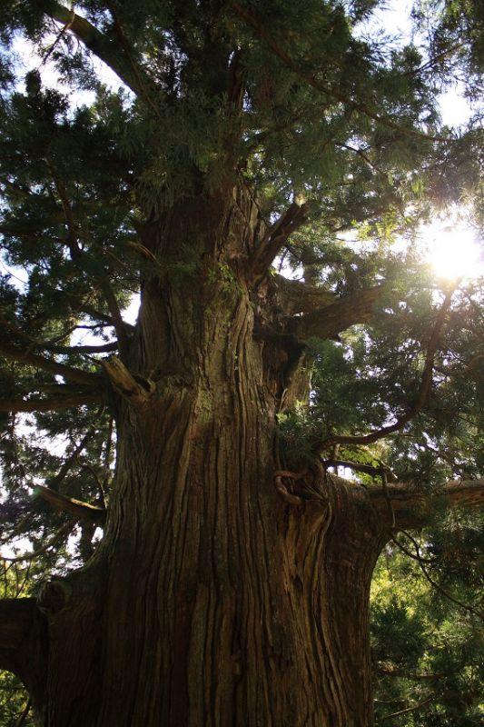 凄い大きな杉の木
