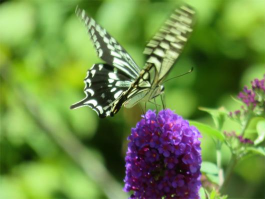 蝶々アップ