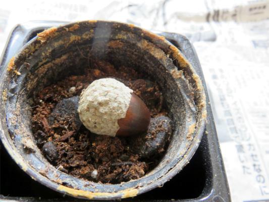 種鉢に培養土を7割