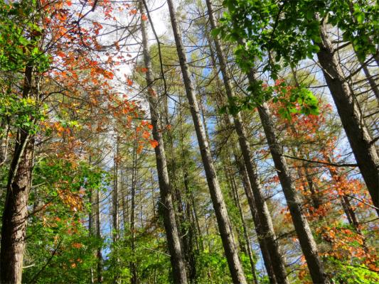 上日川峠周辺の紅葉