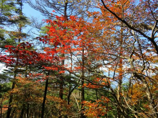 大菩薩峠周辺も紅葉が見頃