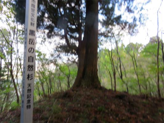 黒岳の天然記念物自然杉