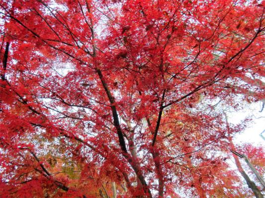 三頭山紅葉