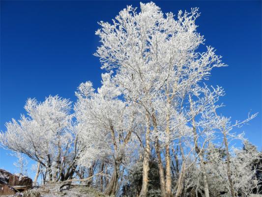 雲取山荘付近の霧氷の森