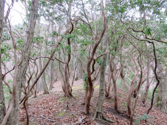 小丸馬酔木(あせび)の森