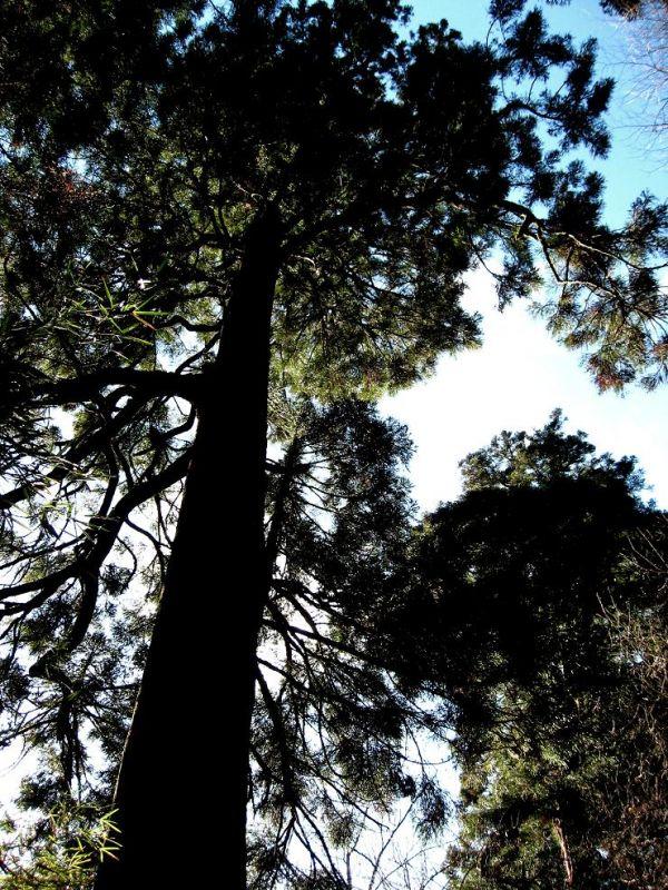 赤石坂杉の大木