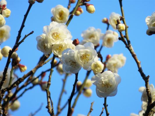 梅3部咲き