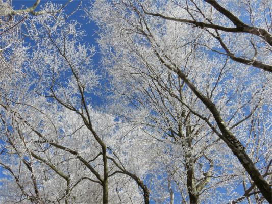 塔ノ岳周辺も霧氷の木