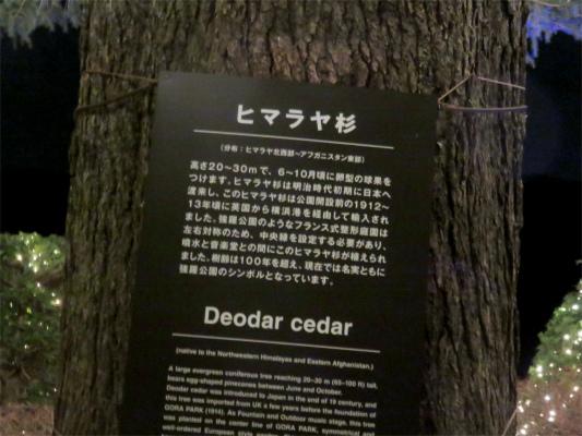 箱根強羅公園のシンボルツリーヒマラヤ杉
