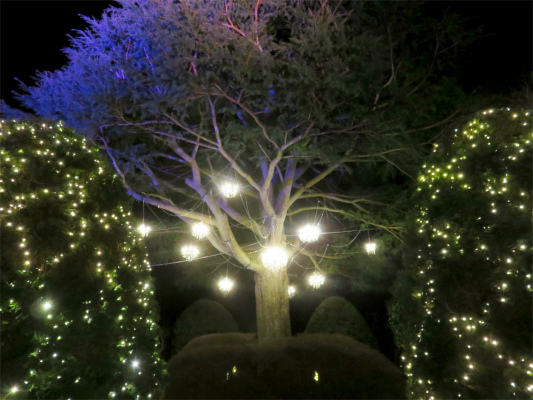 ヒマラヤ杉のライトアップ箱根の夜