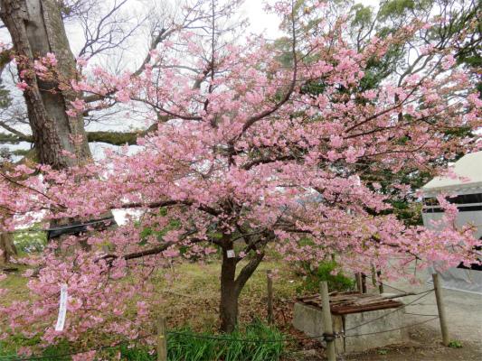 小田原城の梅の花