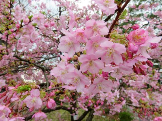 小田原城址公園河津桜
